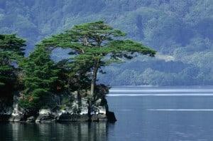 Pinus_densiflora_Towada
